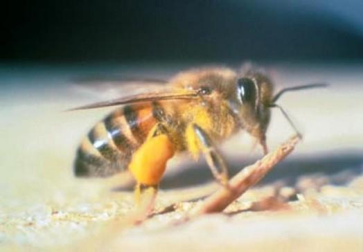 Black bees (7)