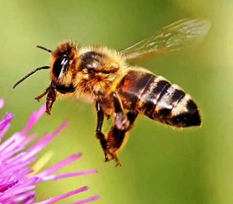 Black bees (8)