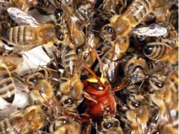 Cyprus, Syrian bees