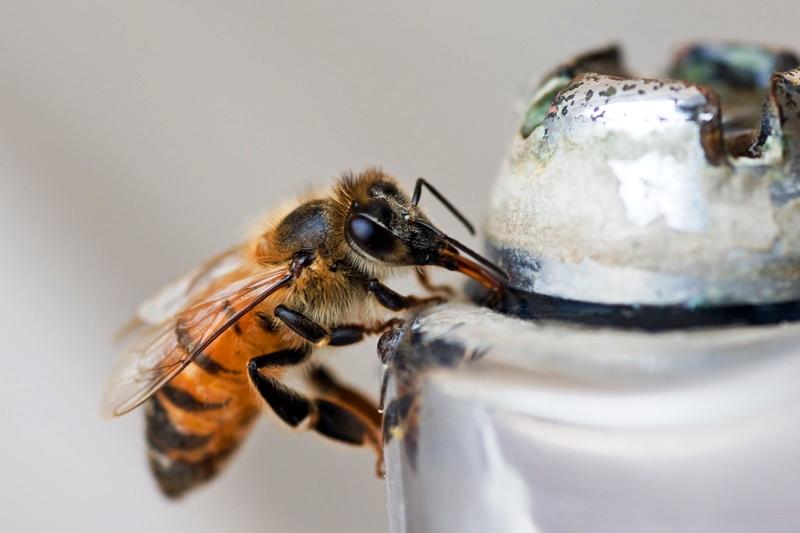 Dwarf bee