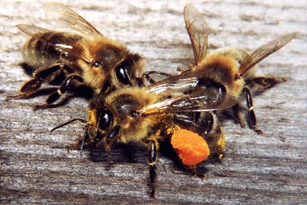 Italian bees