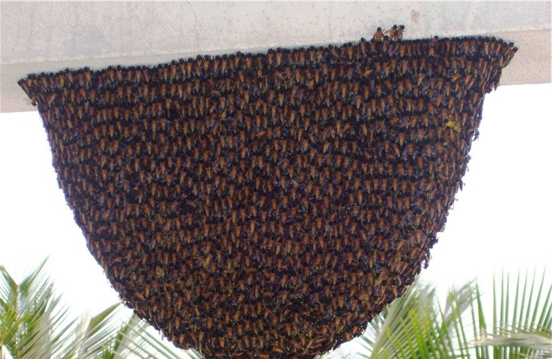 giant bees India