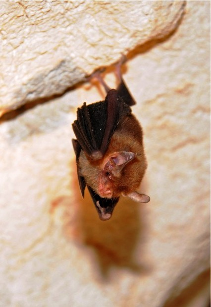 Bumble bee bat (1)