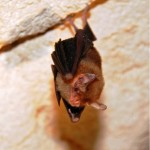 Bumble bee bat