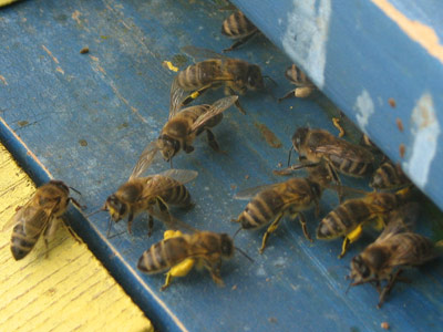 Honey bees disappearing - bee extermination
