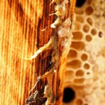 Benefits of propolis