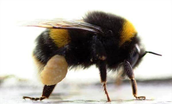 Bees hornets wasps - bumble bee facts