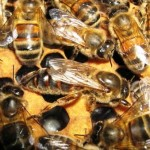 Buckfast bees - honey bee types