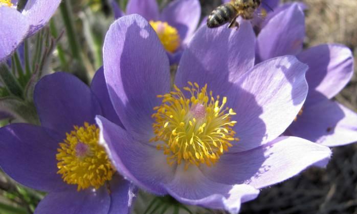 Honey bee pollen - raw bee pollen (1)