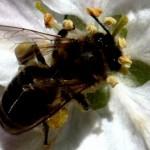 Brushy mountain bee