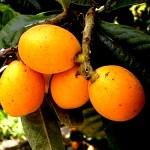 Honey loquat