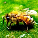 Bee sting remedies
