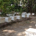 Bees in Thailand