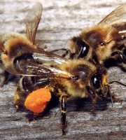 Honey bees disappearing